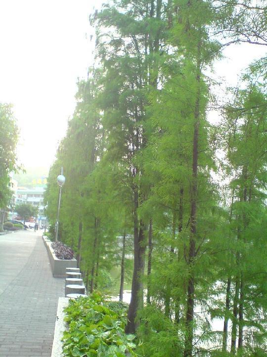 水杉树 水杉