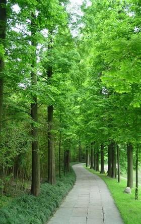 大丰水杉 大丰中山杉 水杉树