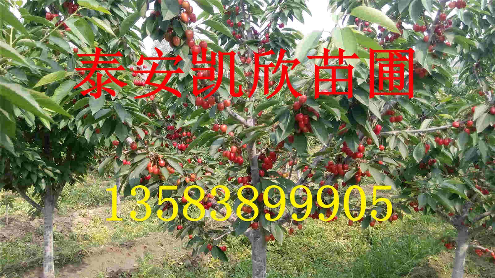樱桃苗基地 樱桃树苗品种纯正