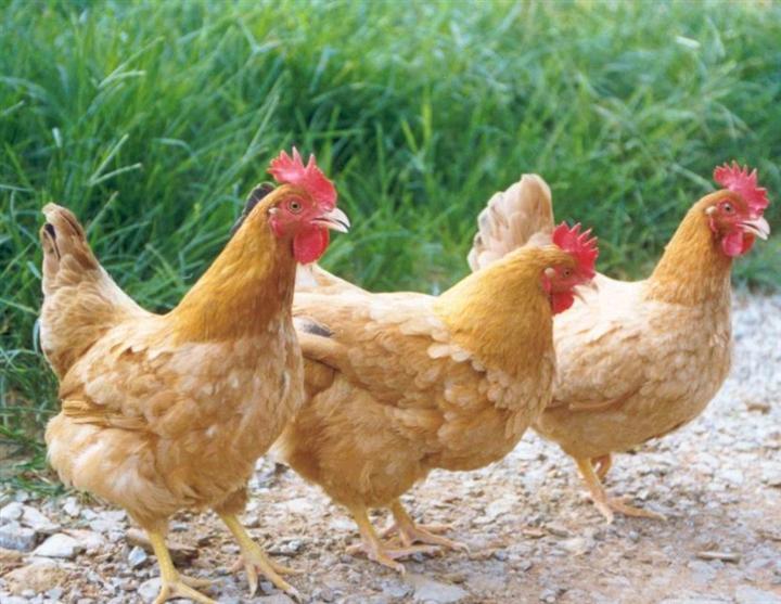 黄色片色鸡鸡_喙黄色,喙前端肉色渐向基部呈栗色.单冠,公鸡的冠大,母鸡的冠小.