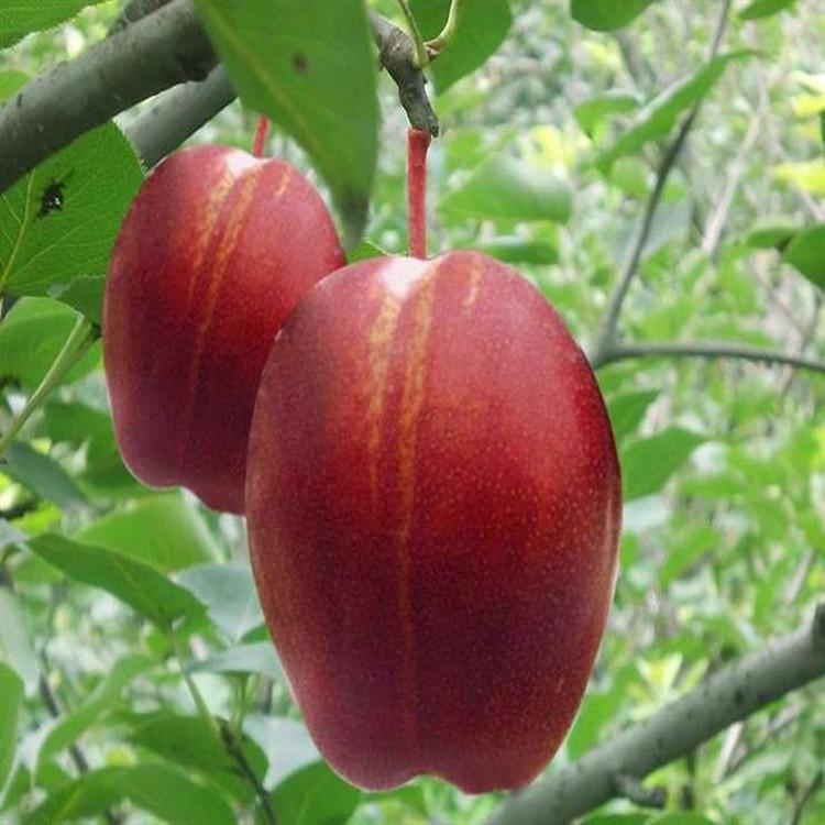 在寒冷的冬天,树叶落光了,留在树上的果子仍不冻不落,极适应反季节