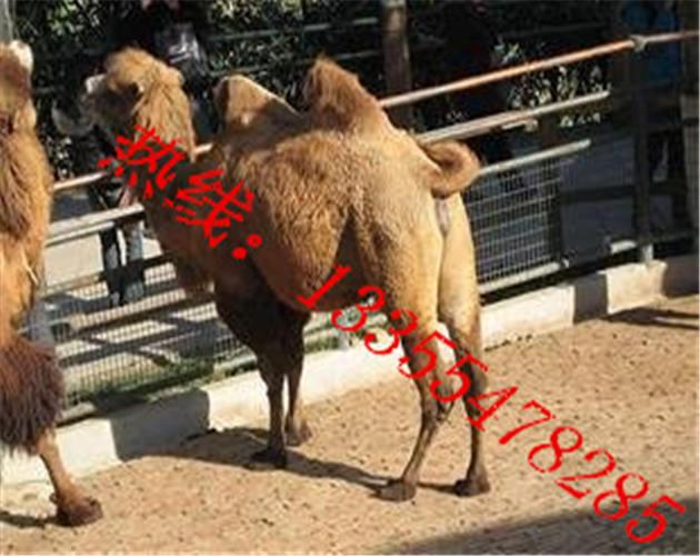 山东最大骆驼养殖场咨询电话:13355478285/15253724558 随时可以咨询 骆驼分为2种,有一个驼峰的为单峰骆驼和2个驼峰的为双峰骆驼,单峰骆驼体型比较大,在沙漠能跑能走。可以运货,可以驮人。双峰骆驼四肢粗壮,适合在雪地行走。主要销售旅游城市、公园观光、景点拍照。什么地方有卖双峰骆驼、照相骆驼多少钱、小骆驼多少钱一匹、那有卖骆驼的地方、成年骆驼什么价格、在哪里能买到骆驼、有养殖骆驼的基地吗、观赏骆驼哪里有卖的、骆驼幼崽价格、双峰骆驼价格、那有骆驼出售出售驯化温顺骆驼。骆驼一般可日行60~8