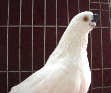 动物鸽老虎鸟鸽子365_307美国鸟类宠物图片