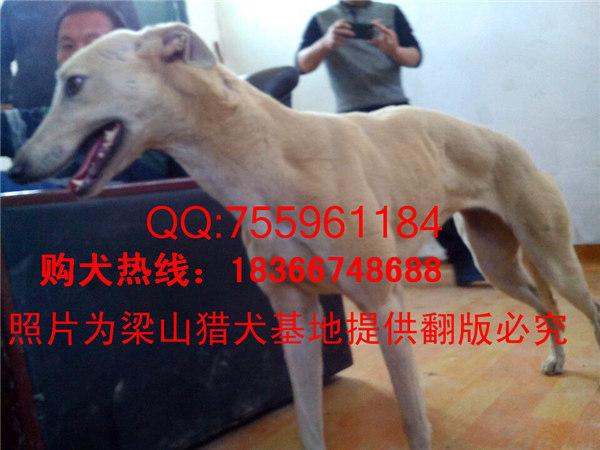 犬钱一条_格力犬价格_格力犬护腿_山东猎图片板定制图片