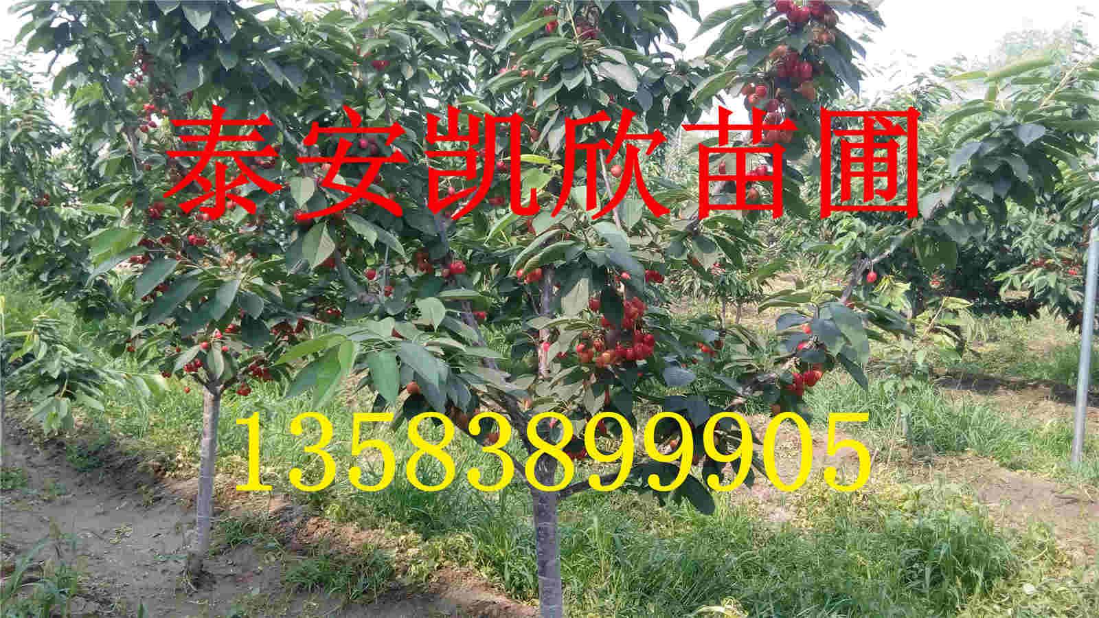矮化樱桃树苗的价格