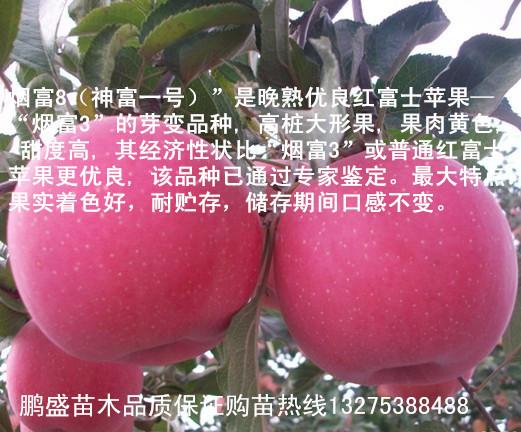 非主流伤感囹�a�i)�aj_湖北丹江口适合种植什么苹果苗-烟富8_泰安市鹏盛苗木