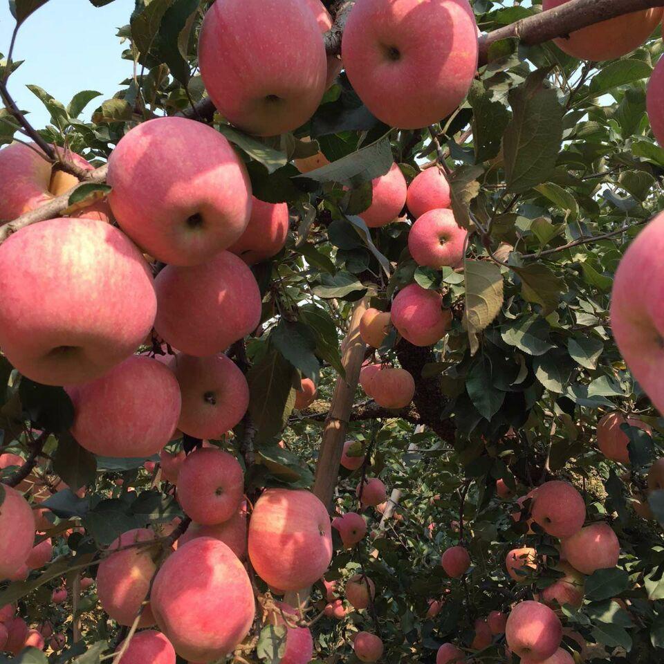 山东红富士苹果基地 红富士苹果价格图片