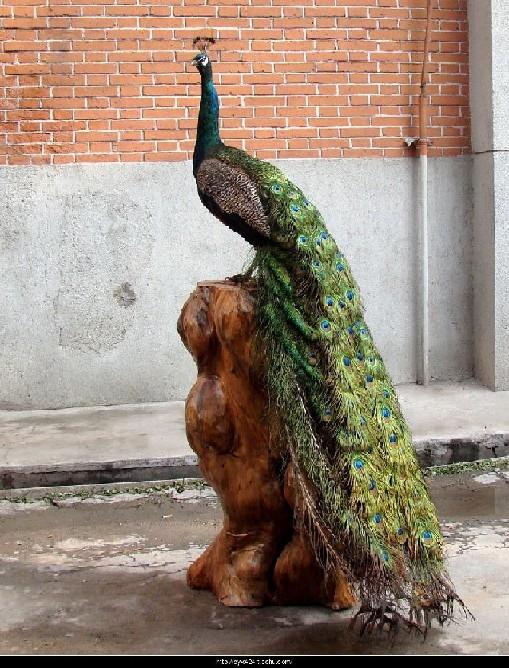 山东熟皮子,动物标本技术培训,交熟皮子动物标本制作请到如生动