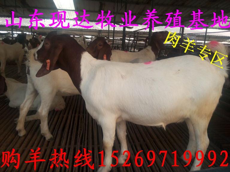 北海有卖加餐牛的_黑山羊钱_育肥羊育肥员工食谱图片