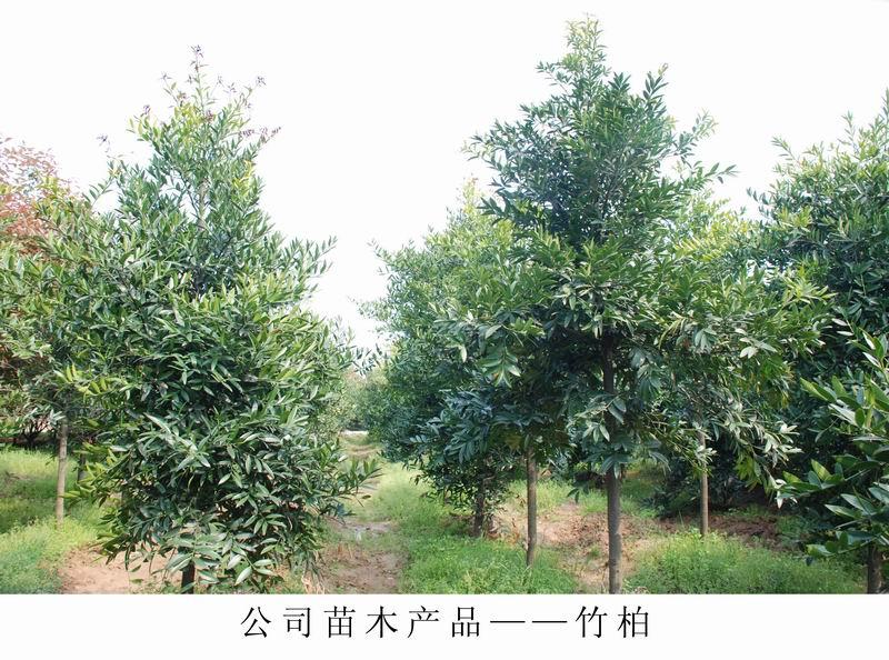 苗木批发|在哪能买到高质量的绿化苗木