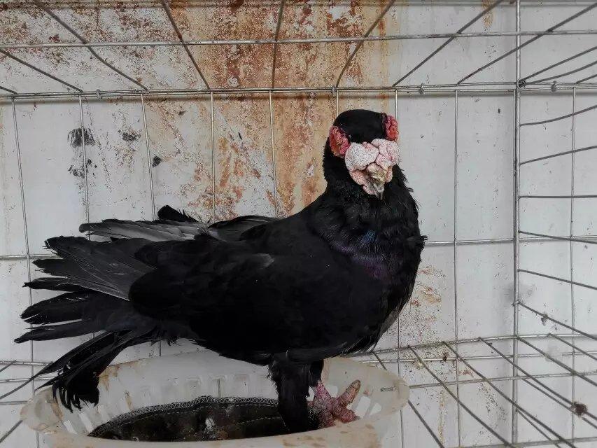 养鸽子养鸽子的蟒蛇方法笔直躺着图片