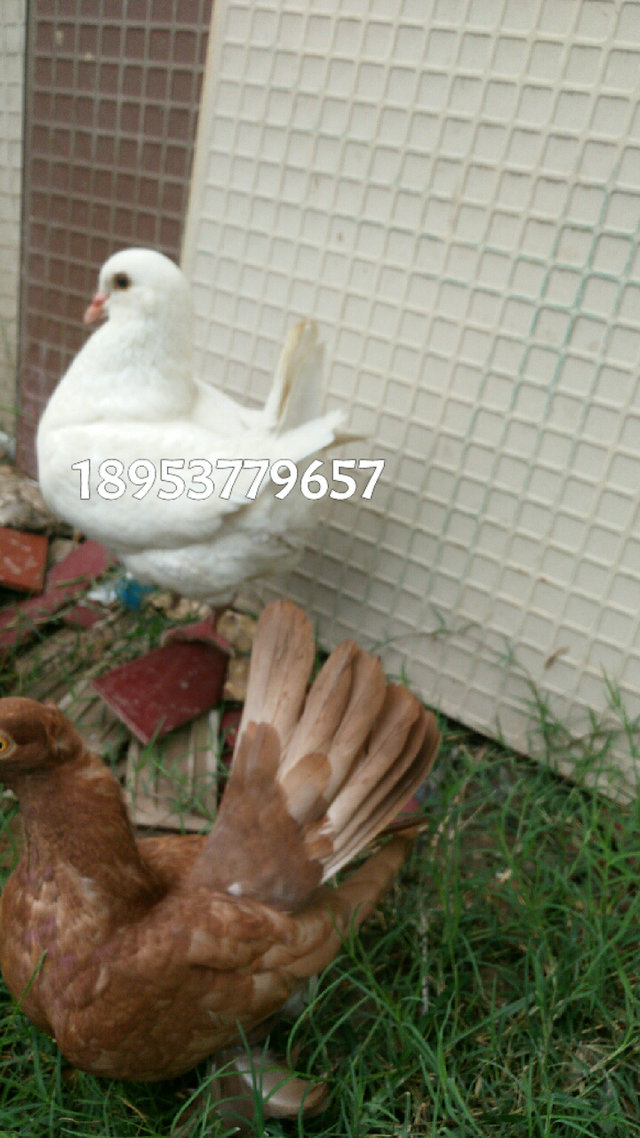 观赏鸽品种有哪些 出售观赏鸽 开花大鼻子观赏鸽批发 观赏鸽 肉鸽 信鸽 元宝鸽属于美国王鸽(展览型王鸽),是观赏鸽的一种。其胸圆如球,宽而憨厚,步伐稳健,不善飞翔,可以家中小院如养小鸡一样散养。所谓的元宝是指它有一个独特的V形身材,与古代的金元宝之两头翘形状相同。 一对优良的元宝鸽,首先是它们的羽色要单纯,要统一,精神状态好。远看有类似一个元宝的V型,挺胸抬头,尾羽短而上翘着。近看要像个小母鸡,胸宽,方圆。 纯种的元宝鸽公应该在1.