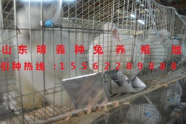 金华珍珠系长毛兔 养殖场 肉兔多少钱 山东种兔场 长毛兔种兔一只价格图片