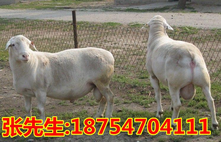 盂县黑山羊养殖 白山羊多少钱一斤