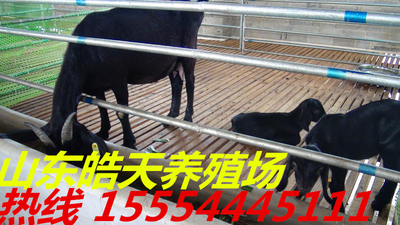 大连金堂黑山羊种羊多少钱一只?圈养养羊利润