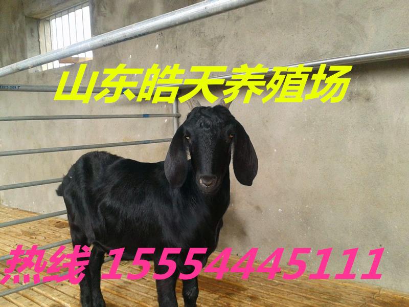 绥化金堂黑山羊种羊多少钱一只?圈养养羊利润