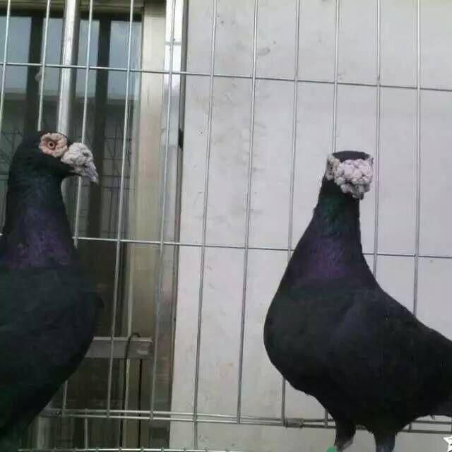 淮南哪里卖的大鼻子鸽子价格低