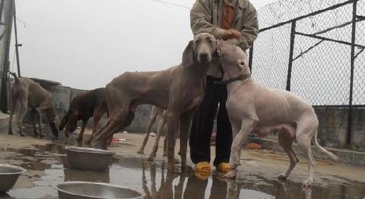 辽宁省锦州市(哪里有卖杜高犬的)价格,图片