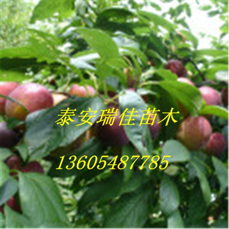 折叠编辑本段繁殖方法 李树 李树 1,嫁接 常用砧木有毛桃,中国李.