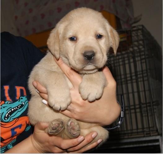 云南昆明拉布拉多犬宠物市场 买卖出售转让犬舍