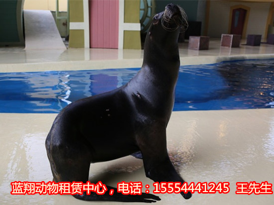 黑龙江省海狮表演节目、 出租马戏团 出租海狮 动物表演 蓝翔动物租赁公司,业务有:海狮表演,出租海狮,马戏团表演,企鹅展览,羊驼出租,萌宠动物租赁。我们公司的动物虽然来自不同的地方和不同的海域,但都经过了特殊的训练,因此变得尤为通人性,也尤为可爱,可谓萌意十足,让不少游客期待不已。对于远离海洋的内陆地区游客来说,能够在家门口看到极地动物,感受来自北极和南极以及深海世界的氛围,将显得神秘而又奇妙。联系人:王经理 电话:15554441245(更多精彩视频,请加微信)  可以说,我们作为国内一家以动物租赁为主