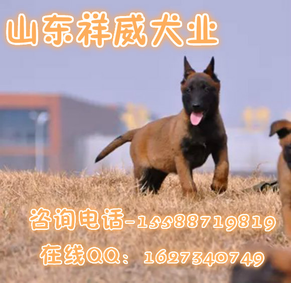 马里努阿犬外形匀称、流畅、呈方形,其头和颈部姿态非常优雅;它敏捷、肌肉强健、灵敏且富有活力;四肢站立时呈方形,从侧面看,背线、前肢、后肢近似正方形,给人的印象是结实而不笨重。公犬通常要比母犬稍微高大。   马里努阿犬是比利时牧羊犬的一个品种,它与特佛伦犬和比利时牧羊犬相似。马里努阿犬是一个自然品种犬,中等大小、比例协调、富有力量、姿态高雅。与所有的犬相比它也有返祖现象,而且比较严重。典型的马里努阿犬经常被人们描述在两个极端之间。强壮和优雅是方向,但不能忽视协调,而且要以一种非常和谐的方法使其都能兼顾。比利