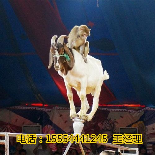 南京出租动物马戏团_海狮表演