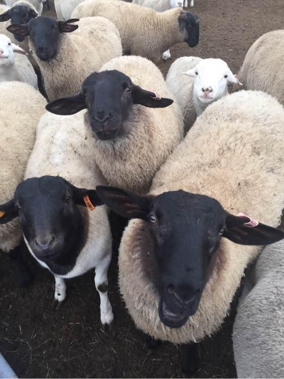 改则县纯种黑头杜泊绵羊多少钱一只