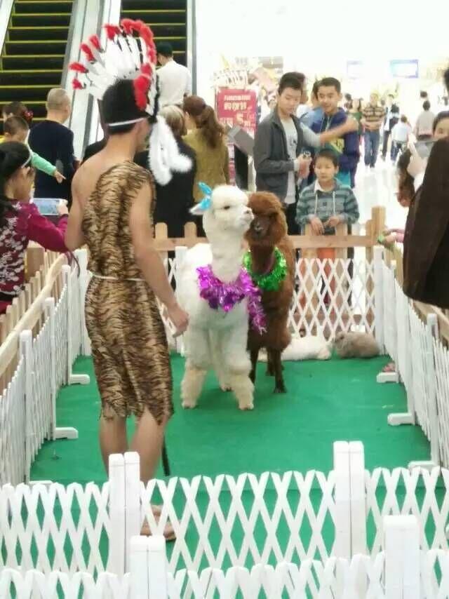 出租马戏团表演迁安2016什么地方有出租羊驼的