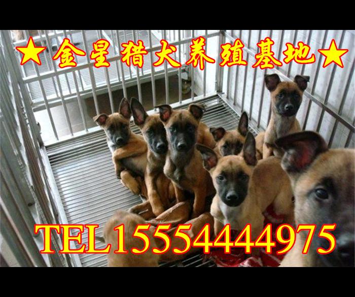 马犬养殖基地_黑狼犬养殖场|狼青犬养殖场|马犬养殖