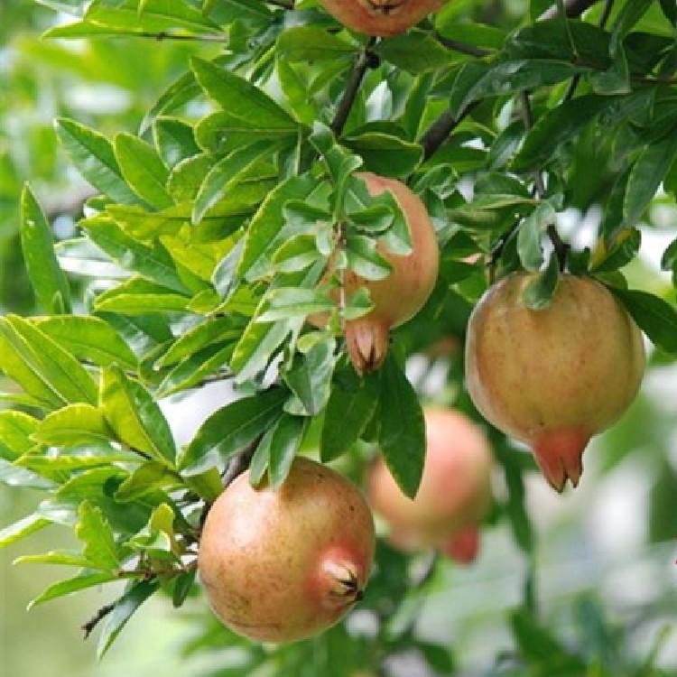 南方各市石榴树苗 嫁接泰山大红石榴树苗 品种多 包成活包邮