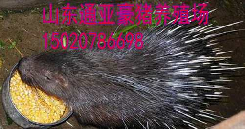 内江豪猪养殖技术豪猪价格豪猪养殖前景图片