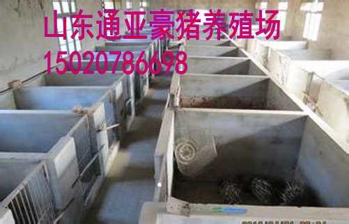 重庆哪里有巴马香猪养殖场藏香猪养殖前景