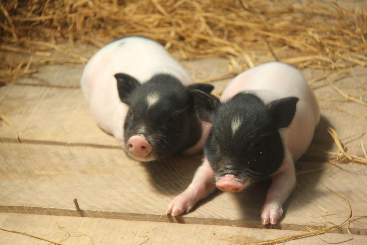 小香猪在猪家族中属于天资聪颖一类,活泼好动,很通人性,会认主人,只要主人对它好,他也会以优秀的表现来回报主人。出生后就会用嗅觉辨别主人,对生人很是警惕。它的眼神不佳,嗅觉和听觉十分出色,能 像狗一样凭嗅觉找到主人的身边。作为猪中贵族,香猪非常喜爱干净,出生后就知道如厕有专门地点,决不会吃喝拉撒均在一处。好奇心强,杂食性,不挑食,可以吃猫食狗食,也可以吃稀饭,里面可以加青菜、胡萝卜 等(但不要加荤食,它不好消化的),它会是您最理想的家庭宠物!
