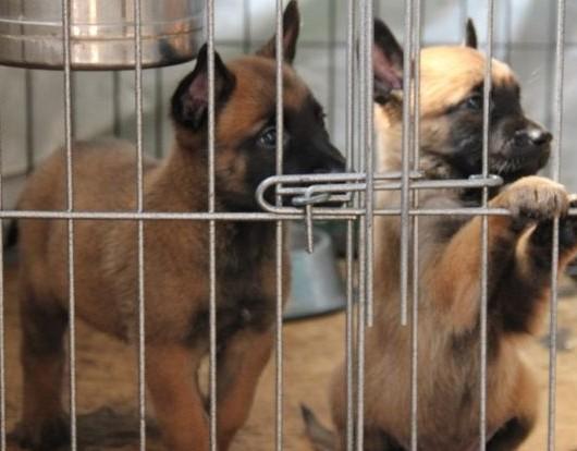 昆明出售卖狗的地方 马犬狗场繁殖基地