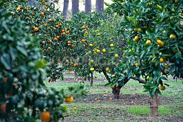 美国香水柠檬树苗 青柠檬黄柠檬阳台盆栽果树苗木