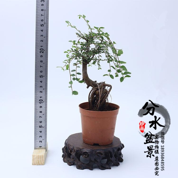 小叶榆树盆景