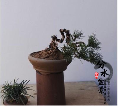 批发黑松盆景 盆景树桩 盆栽地栽黑松 乔木灌木 绿化苗木 苗木供应 南