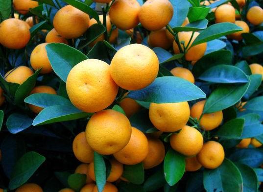 肉蜜柚苗 嫁接柚子苗 盆栽柚子树苗南方北方种植当年结 果树苗木 绿