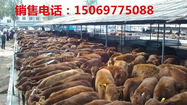 黔东南鲁西黄牛养殖视频,养殖基地,技术指导
