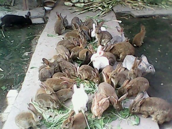 肉兔有非常高的营养价值,养殖肉兔方式也很简单