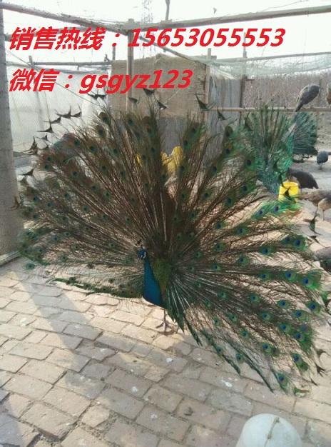 永胜县公斤元宝鸽价格孔雀苗多少钱一只