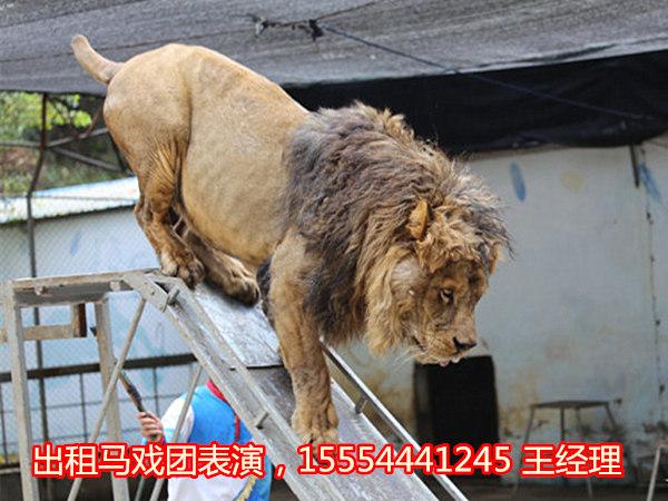 上海羊驼出租-动物表演