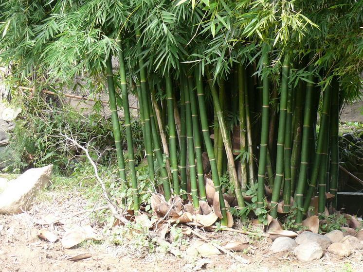水分管理竹子喜湿怕积水.