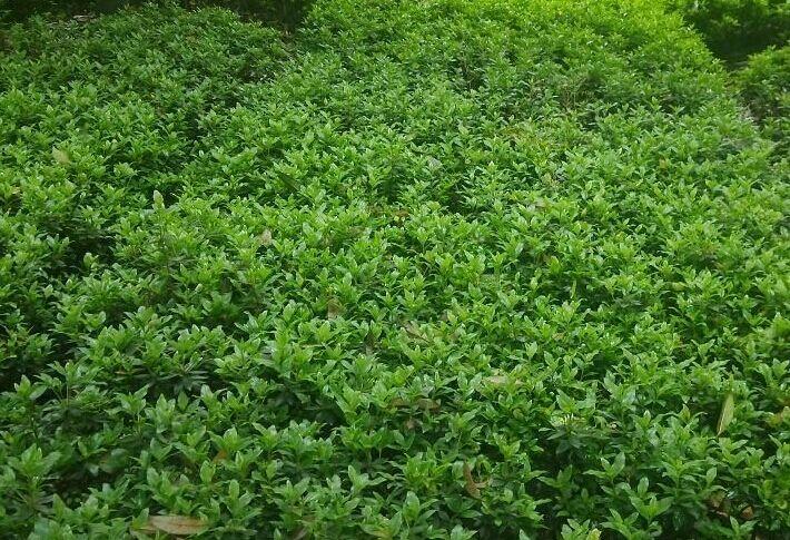 有些种类的树皮,树叶含丰富的蘸质,可提取栲胶;春鹃花的木材,根兜