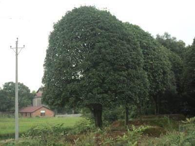 25厘米桂花树,多功能桂花树/行道树/庭院树
