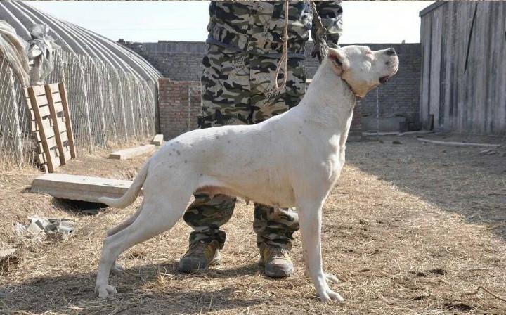 哪里有卖杜高犬的沂州[ 杜高犬价格 杜高犬打架