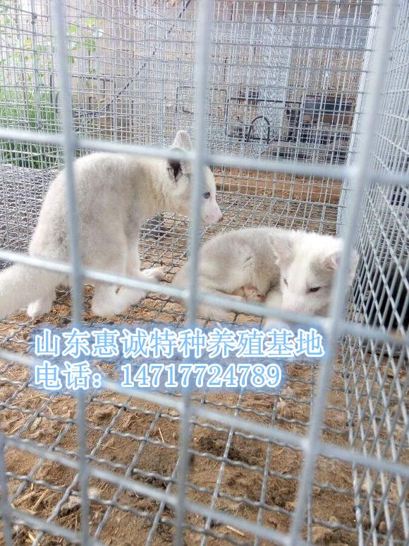 出售宠物狐狸-雪霜狐-冰岛狐-雪狐-赤狐
