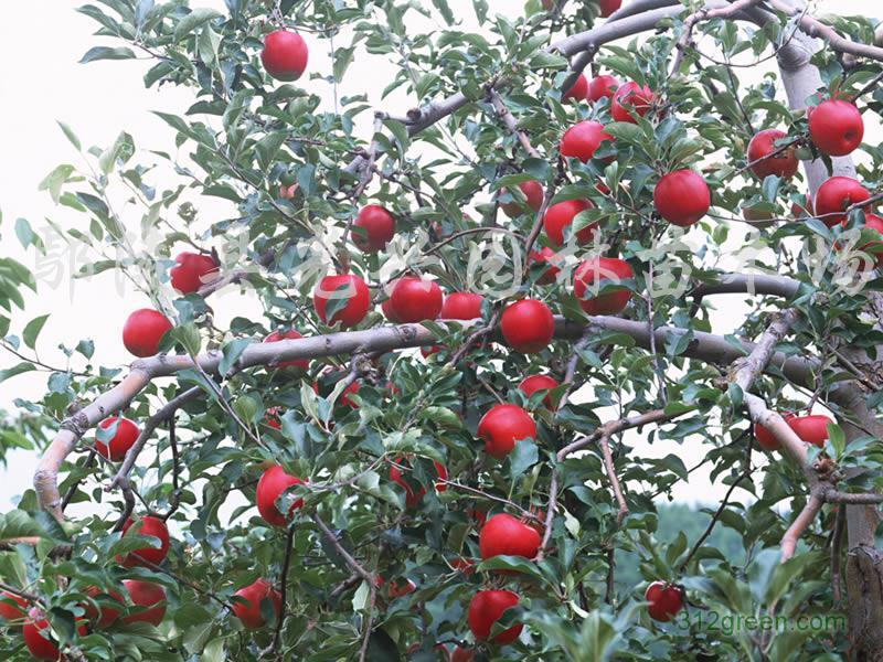 花灌木:樱花,紫叶李,美人梅,红叶李子,石榴树,榆叶梅,珍珠梅,梅花