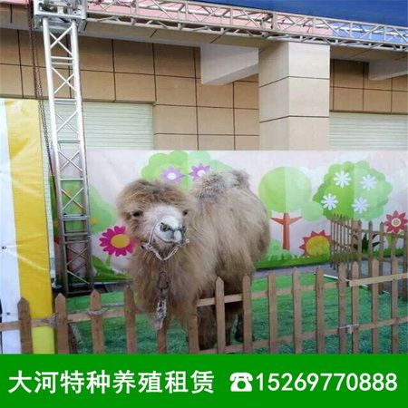 北京本地观赏动物出租公司羊驼租赁